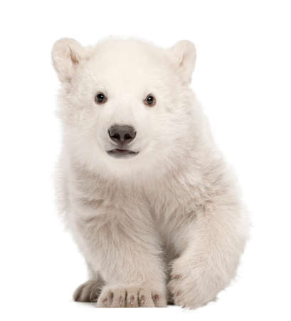 Polar bear cub, Ursus maritimus, 3 months old, standing against white background