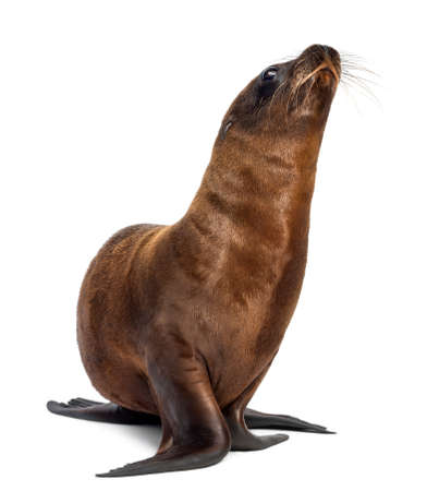 Young California Sea Lion, Zalophus californianus, 3 months old against white background Imagens