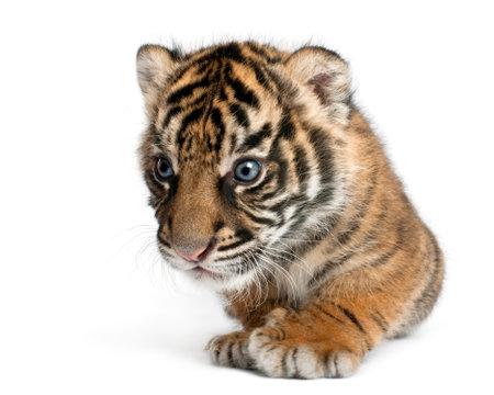 Sumatran Tiger cub, Panthera tigris sumatrae, 3 weeks old, in front of white background