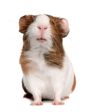 Cavia, Cavia-porcellus, voor witte achtergrond