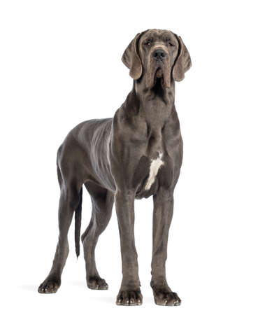 Great Dane, 10 months old, looking at the camera in front of white background