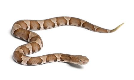 Joven serpiente Copperhead o mocasín de las tierras altas - Agkistrodon contortrix (venenoso)