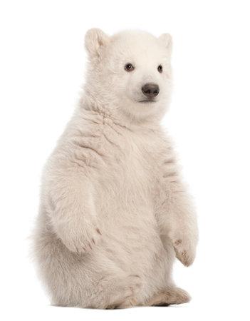 Polar bear cub, Ursus maritimus, 3 months old, sitting against white background Foto de archivo