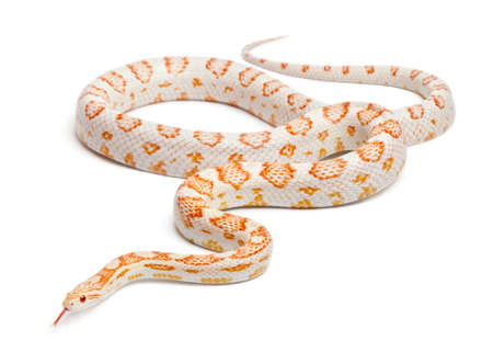 Candy cane Corn Snake or Red Rat Snake, Pantherophis guttatus, in front of white background