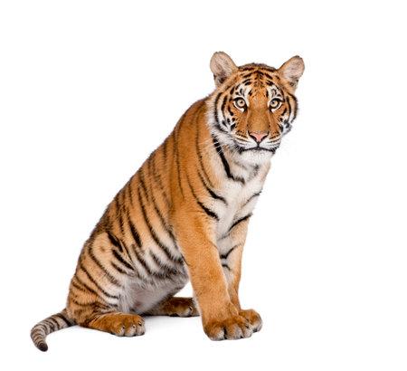 Retrato de tigre de Bengala, Panthera tigris tigris, 1 año de edad, sentado frente a un fondo blanco, foto de estudio