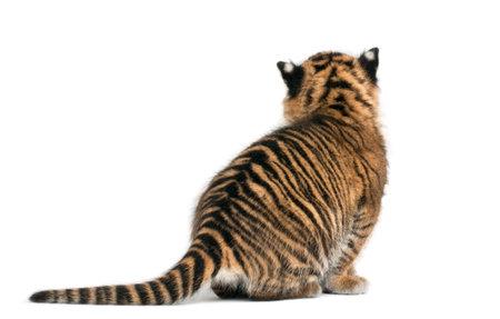 Rear view of Sumatran Tiger cub, Panthera tigris sumatrae, 3 weeks old, in front of white background Imagens