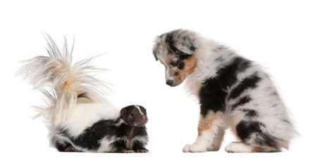 Blue Merle Australian Shepherd puppy, 10 weeks old, looking at Striped Skunk, Mephitis Mephitis, 5 years old, sitting in front of white background Stock Photo