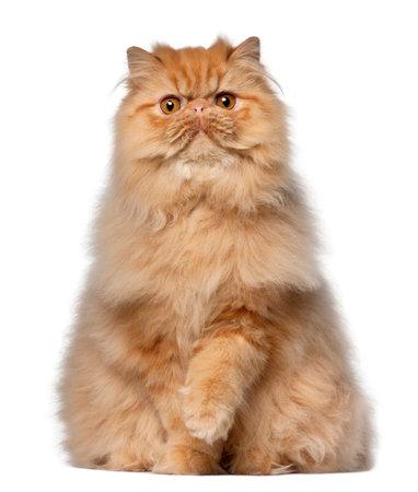 Portret van Perzische kat, 7 maanden oud, die voor witte achtergrond zit