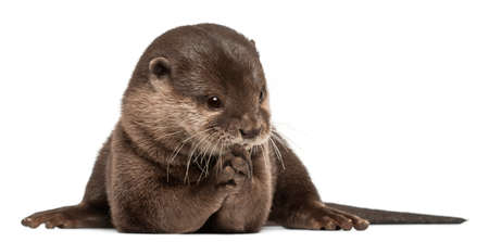 Oriental small-clawed otter, Amblonyx Cinereus, 5 years old, sitting in front of white background Archivio Fotografico