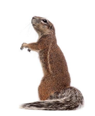 케이프 그라운드 다람쥐, Xerus inauris, 흰색 배경에 서서