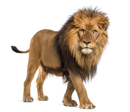 Seitenansicht eines Löwes gehend, die Kamera betrachtend, Panthera Löwe, 10 Jahre alt, lokalisiert auf Weiß