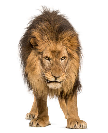 Lion standing, looking down, Panthera Leo, 10 years old, isolated on white