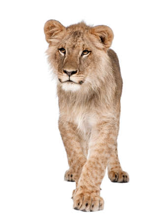 Portrait of young lion cub, Panthera leo, 8 months old, walking against white background, studio shot Stock Photo