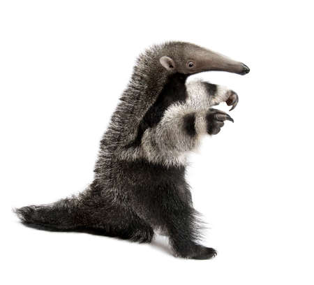 Young Giant Anteater, Myrmecophaga tridactyla, 3 months old, walking in front of white background, studio shot Stok Fotoğraf - 90387260