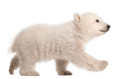 Ours polaire, Ursus maritimus, 3 mois, marchant sur fond blanc Banque d'images - 90387276