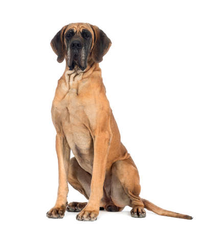 Great Dane, 4 years old, sitting in front of white background
