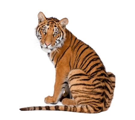 Retrato de tigre de Bengala, 1 año de edad, sentado frente a fondo blanco, foto de estudio, Panthera tigris tigris Foto de archivo
