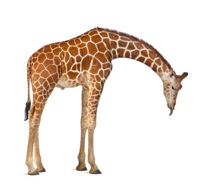 소말리아 기린, 일반적으로 Reticulated 기린, Giraffa 기린 자리 reticulata, 2 및 3 년 반 서 흰색 배경에 서있는 스톡 콘텐츠