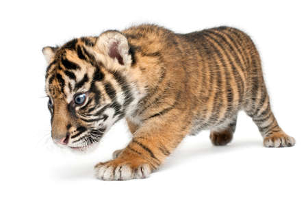 Sumatran Tiger cub, Panthera tigris sumatrae, 3 weeks old, walking in front of white background Banco de Imagens