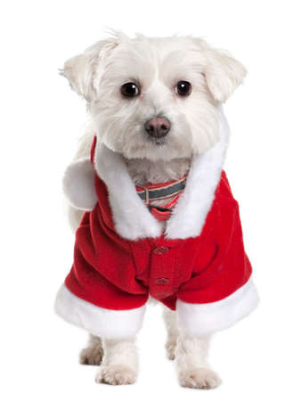 Maltese dog in Santa Claus suit, 3 years old, standing in front of white background Imagens