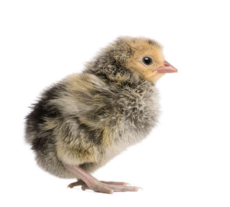 Chick, 2 days old, in front of white background, studio shot