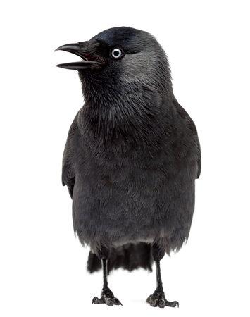 Western Jackdaw looking left with its beak open, Corvus monedula, (or Eurasian Jackdaw, or European Jackdaw or simply Jackdaw) against white background