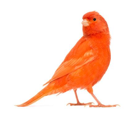 Red canary, Serinus canaria, against white background 版權商用圖片 - 89753468