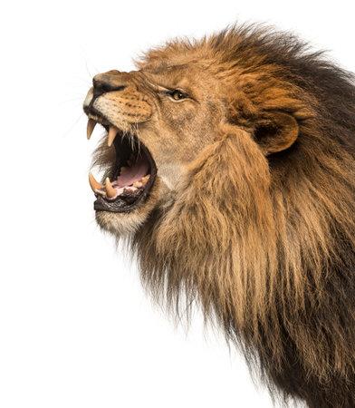 Primer plano de un león rugiente perfil, Panthera Leo, 10 años de edad, aislado en blanco Foto de archivo - 89676305