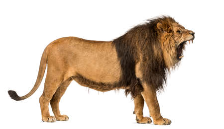 Side view of a Lion roaring, standing, Panthera Leo, 10 years old, isolated on white
