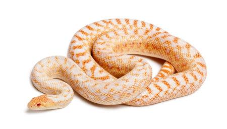 Albinos 태평양 고퍼 뱀 또는 코스트 고퍼 뱀, 흰색 배경 앞에 pituophis catenifer annectans applegate 스톡 콘텐츠