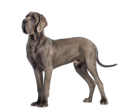 Side view of a Great Dane, 10 months old, in front of white background