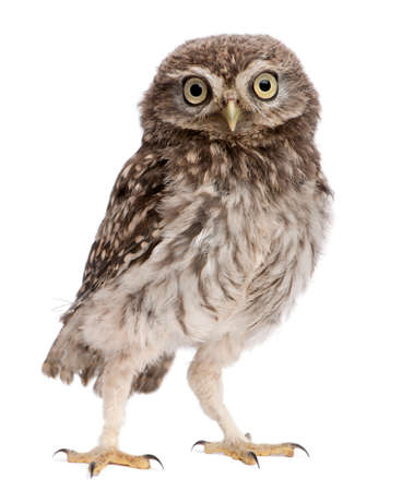 Young owl standing in front of white background 版權商用圖片 - 90388435