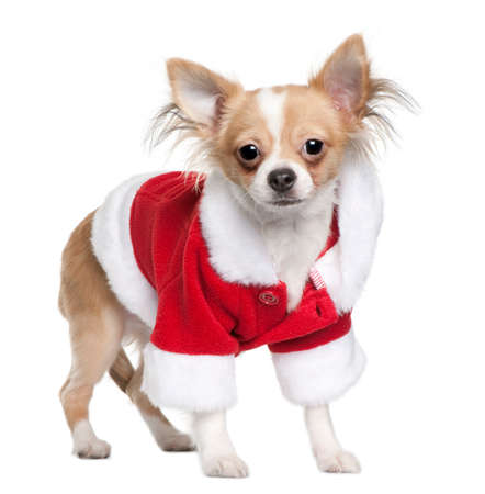 Chihuahua puppy in Santa Claus suit, 7 months old, standing in front of white background Imagens