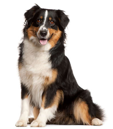 Miniature Australian Shepherd, 2 years old, sitting in front of white background 스톡 콘텐츠