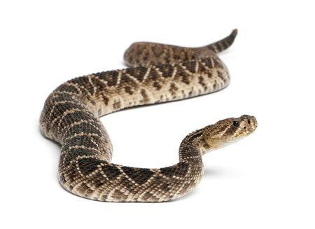 eastern diamondback rattlesnake - Crotalus adamanteus , poisonous, white background