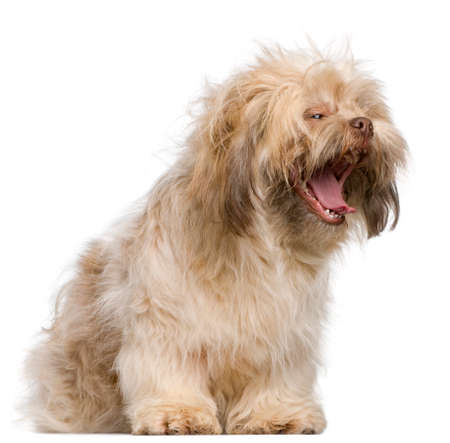Shih Tzu, 3 years old, yawning in front of white background