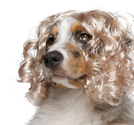 Close-up of Australian Shepherd puppy wearing a wig, 5 months old, in front of white background