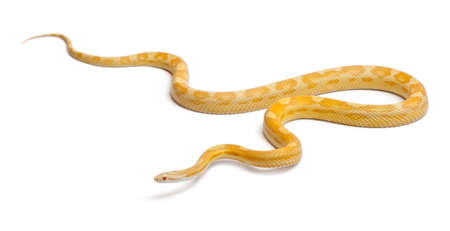 Butter mothley Corn Snake or Red Rat Snake, Pantherophis guttatus, in front of white background