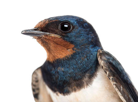 Close-up of a Barn Swallow, Hirundo rustica against white background