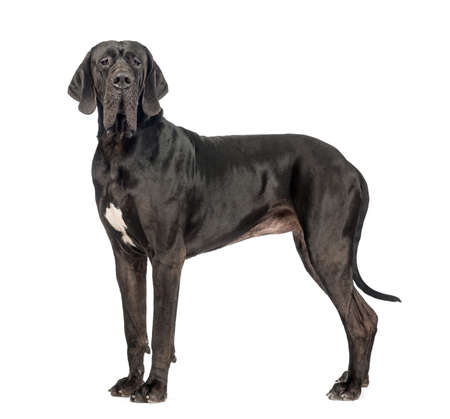 Side view of a Great Dane, 2 years old, looking at the camera in front of white background 版權商用圖片