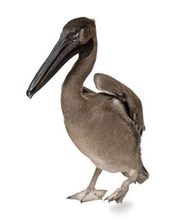Young pink-backed pelican, 2 months old, standing in front of white background