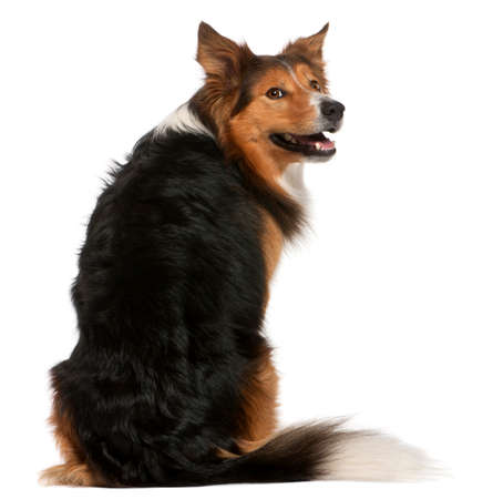 Male Border Collie, 3 years old, sitting in front of white background Imagens