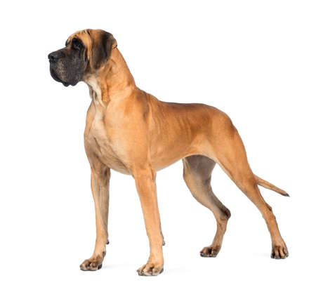 Side view of a Great Dane, 4 years old, in front of white background