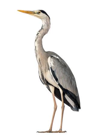 Grey Heron-status, Ardea Cinerea, 5 jaar oud, geïsoleerd op wit Stockfoto