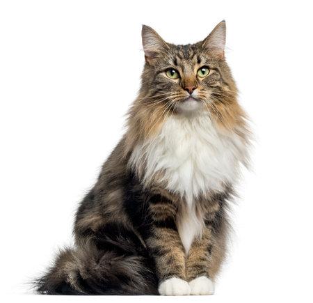 Vooraanzicht van een Noorse Boskattenzitting, die de camera bekijken, op wit wordt geïsoleerd