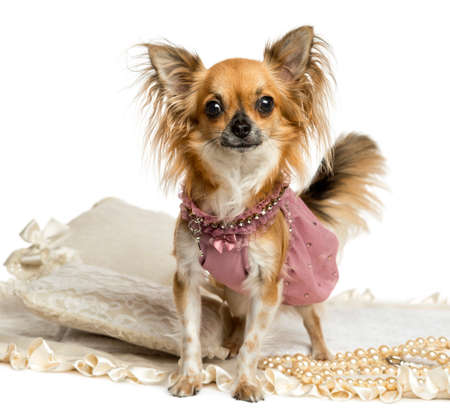 Dressed up Chihuahua standing, looking at the camera, isolated on white