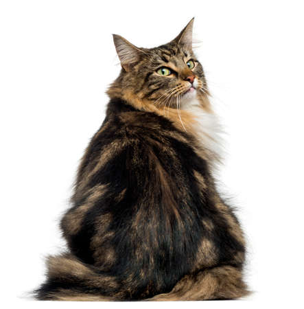Rear view of a Norwegian Forest cat looking backwards, isolated on white Stock Photo