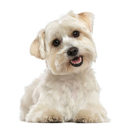 Maltese, lying down, panting, looking at the camera, isolated on white