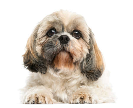 Front view of a Shih Tzu lying down, isolated on white Banco de Imagens
