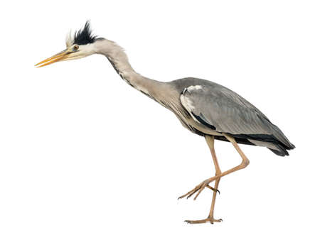 Side view of a Grey Heron standing on one leg, curious, Ardea Cinerea, 5 years old, isolated on white Archivio Fotografico